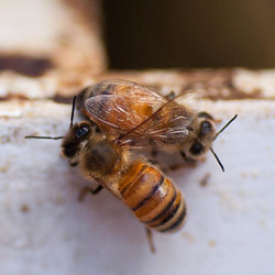 Two Clermont Bees having a chat