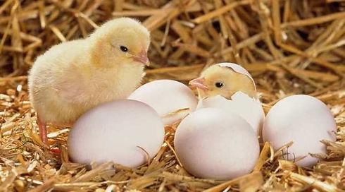 eggs-hatching.jpg