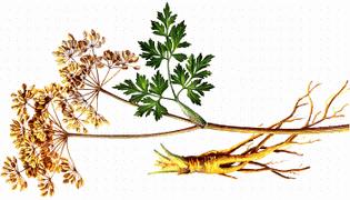 Herbs For Fertility, Menstruation, & Family Planning
