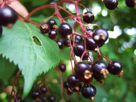 Herb Profile: Elder