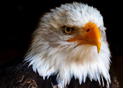 pexels.close-up-photo-of-eagle-3131757.j
