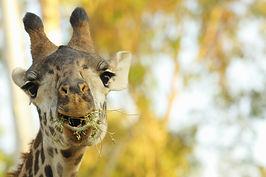 Giraffe at the San Diego Zoo