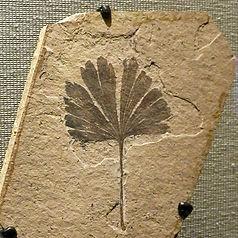 ginkgo-leaf-fossil.jpg