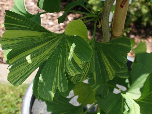 Ginkgo biloba 'Aureovariegata'