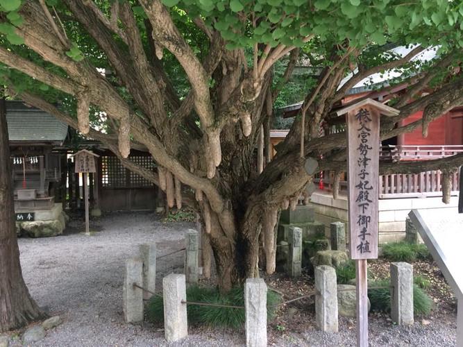 Chi-Chi's on a tree in Japan npcginkgo.com