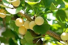Ginkgo Fruit npcginkgo.com