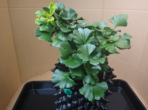 Ginkgo biloba 'Everton Broom'