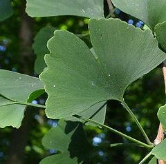 Gingo leaf.jpg