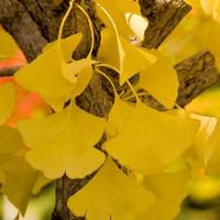 Ginkgo biloba 'Autumn Gold' npcginkgo.com