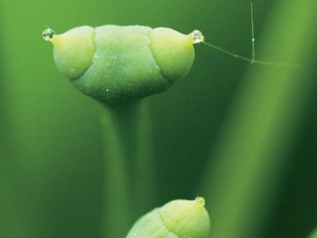 Ginkgo Pollen recpetors npcginkgo.com