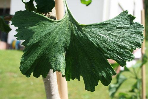 Ginkgo biloba 'Curly Leaves'