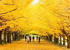 Ginkgo Autumn Colour.jpg
