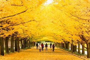 Ginkgo Autumn Colour in Japan npcginkgo.com