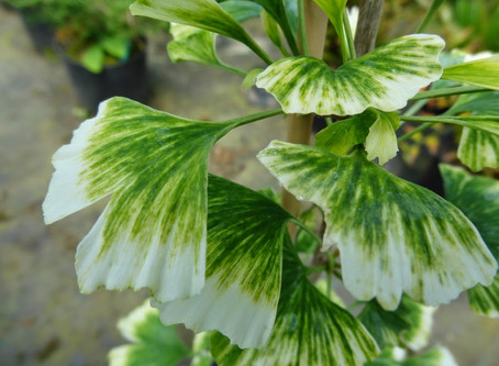 What causes variegation in Ginkgoes?
