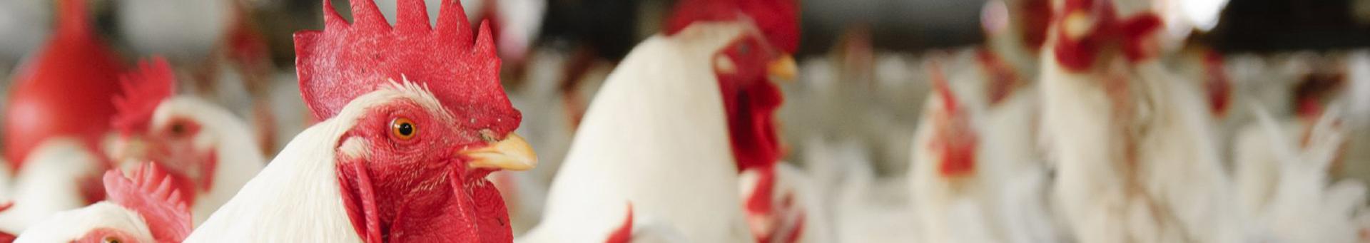 chickens_1920x340.jpg