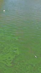 Cianobacterias en Puerto Madero 11 Nov 2020