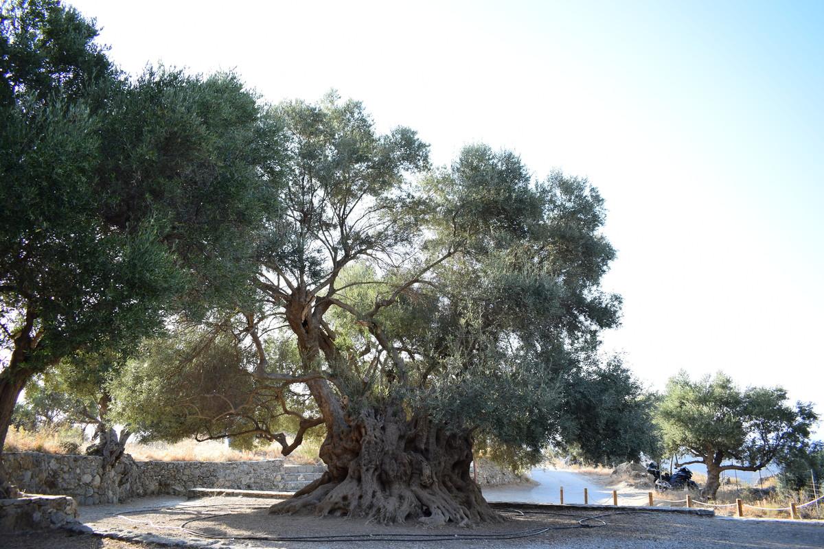 kavousi olivenbaum.jpg