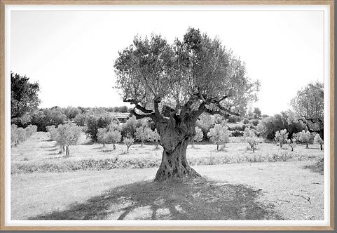 Hahnemühle - Olivenbaum Katalonien - 150 x 100 cm mit Natureichenrahmen