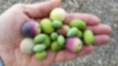 evoo ag Hand voll Oliven Olivenöl.jpg