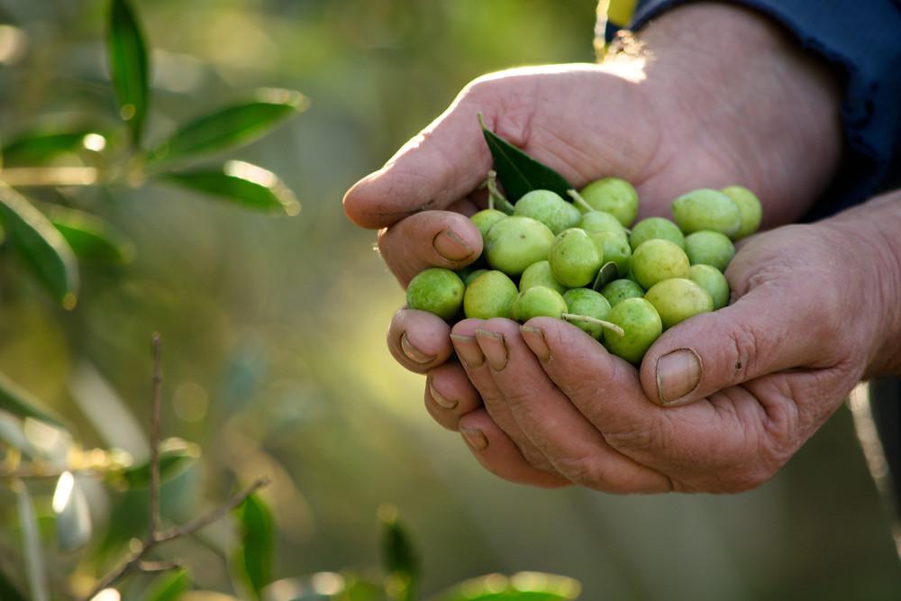 Olive Harvest in Sardinia (Source: Shutterstock)