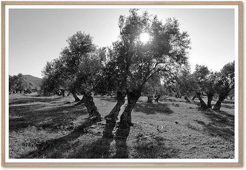 Hahnemühle - Olivenbaum Andalusien - 150 x 100 cm mit Natureichenrahmen