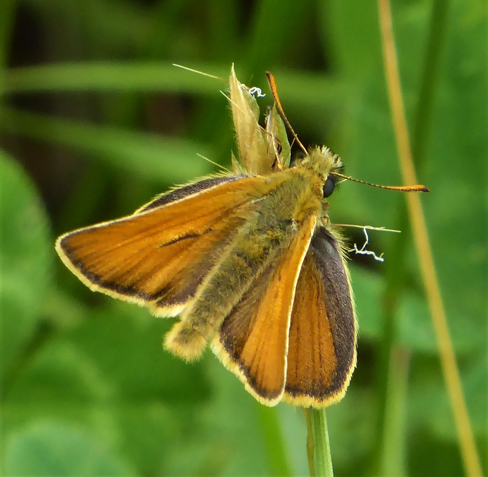 A beautiful tiny butterfly which loves uncultivated hillsides and anywhere with tall grasses and wild flowers.