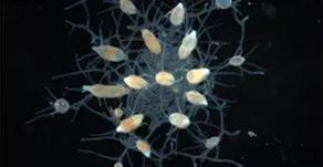 Perdiendo la cabeza, y recuperándola: Hydractinia y su poder de regeneración