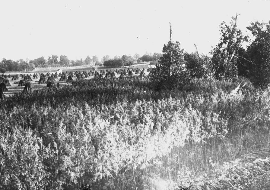 1915 Kentucky hemp crop