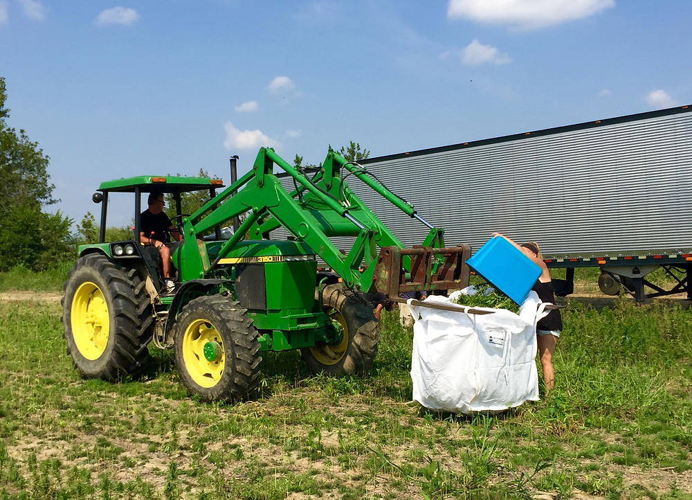 Kentucky Hempsters co-founder, Kirstin Bohnert, loading hemp tops in basket into storage sack.