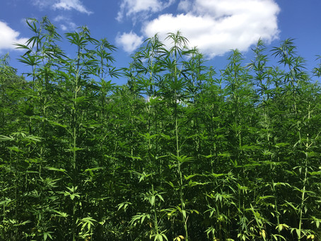 American Farm Bureau Federation endorses Industrial Hemp Farming Act