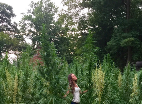 Historic hemp crop grows at historic plantation in Louisville