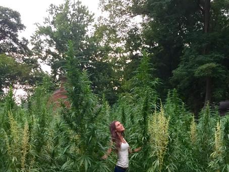 Historic hemp crop grows at historic plantation in Louisville