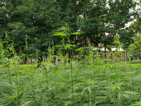 Hemp crops flourish at two Kentucky historic sites
