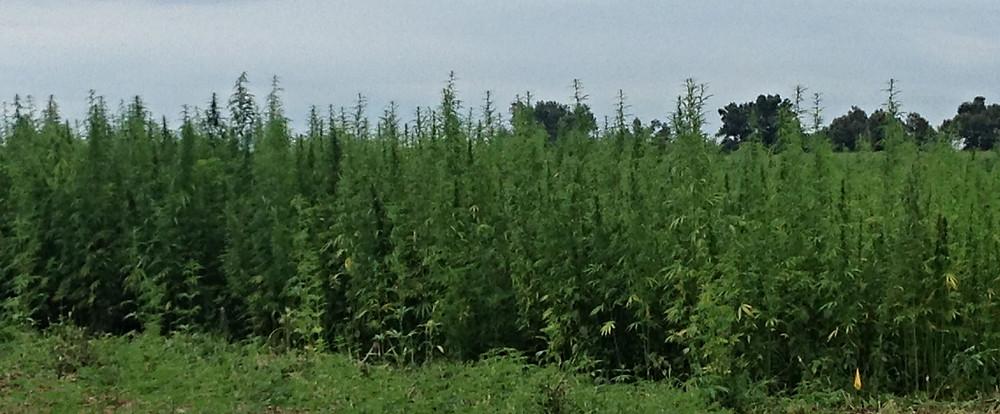 Kentucky Hempsters co-founder visited the 2014 Murray State University hemp pilot project on July 18, 2014.