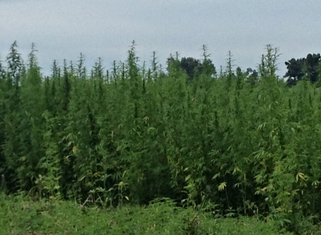 2014 | Murray State University plants first Kentucky hemp crop for research