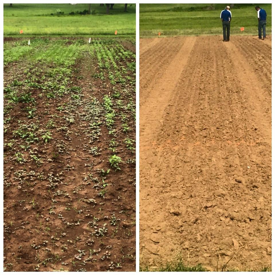 Hemp crop at UK Spindletop Farm in Lexington planted on May  16, 2015 - photo taken June 2, 17 days later.