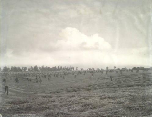 A Hemp Field in Mercer County, Kentucky
