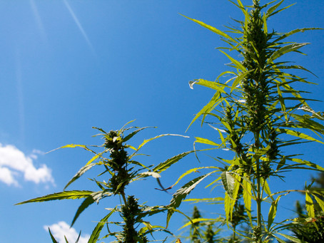 Kentucky approves 4,600 acres for hemp production