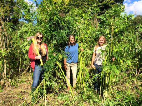 Historic hemp harvest at Farmington Historic Plantation in Louisville