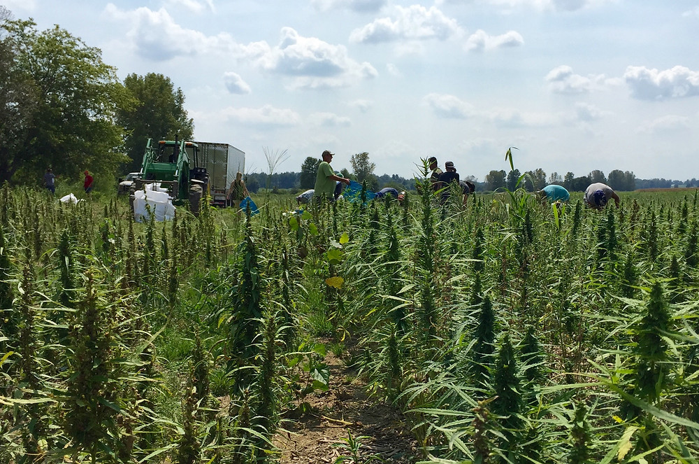Hand cutting hemp crop in Owensboro, Kentucky.