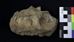 Muestra con bivalvos fósiles