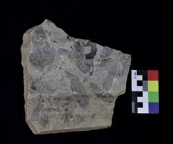Hojas fósiles