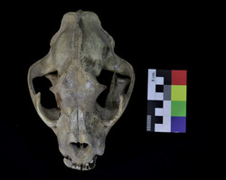 Cráneo de puma
