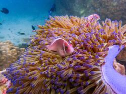 Anemoonvis in de onderwaterwereld van Koh Tao, Thailand