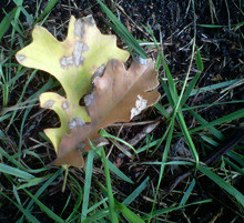 Bur_oak_leaves