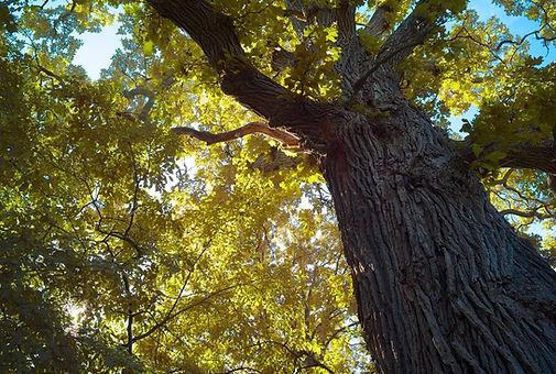bur oak.jpg