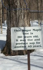 sugar maple smaller