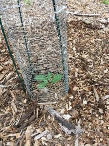 bur oak-protected