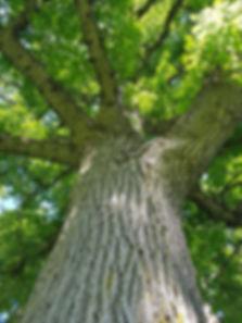 Tavistock bur oak smaller.jpg