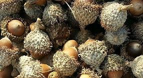 acorns cropped.jpg